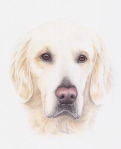 Golden Retriever Dog Coloured pencil realistic portrait of a Gundog  by Amy Elizabeth Fine Art