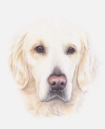 Golden Retriever Dog Coloured pencil realistic portrait of a Gundog  by Amy Elizabeth Fine Art