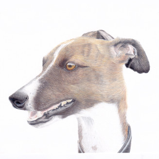 Fawn Greyhound Dog coloured pencil portrait in a relistic style