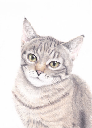 Realistic tabby cat kitten coloured pencil custom commissioned pet portrait created from a photograph