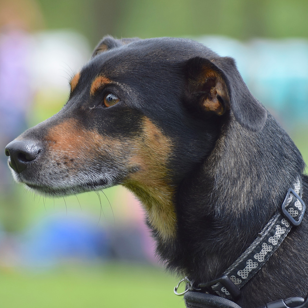 Photograph of a black and tan dog, used to create a coloured pencil pet portrait