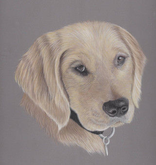 Golden Retriever Pastel Pet Portrait