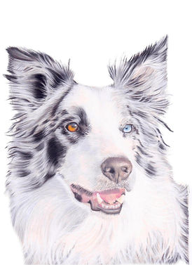 Pastel Pet Portrait of a Border Collie Dog | Amy Elizabeth Fine Art Pet Portraits