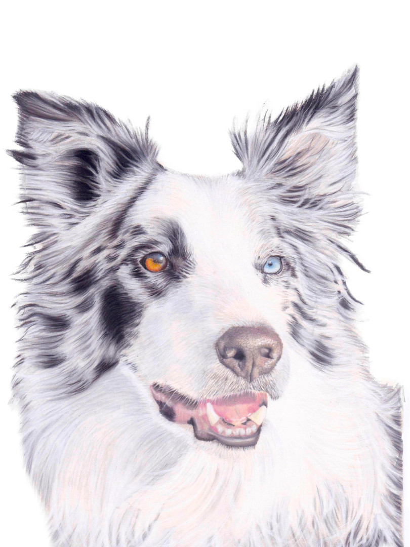 Border Collie Dog Pastel Portrait