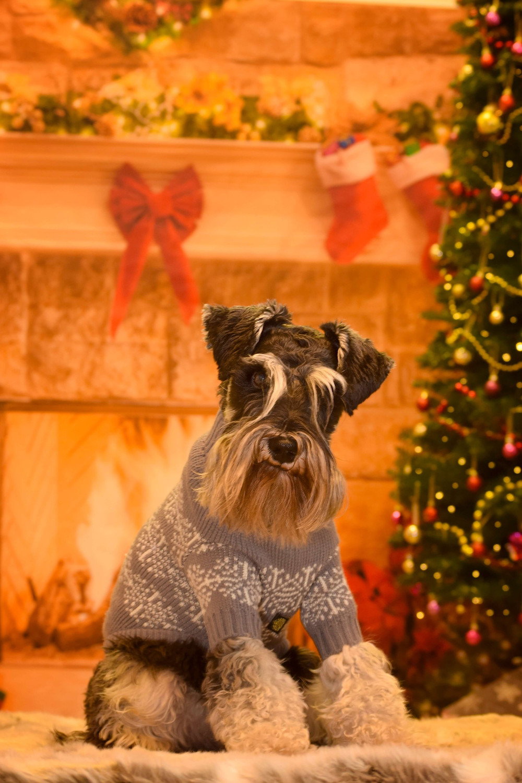 christmas pet portraits