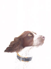 Springer Spaniel Gundog Pet Portrait Pencil