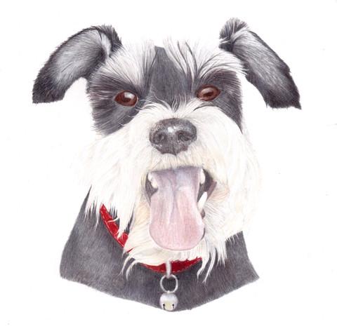 Miniature Schnauzer Portrait in Coloured Pencil. A custom pet Portrait