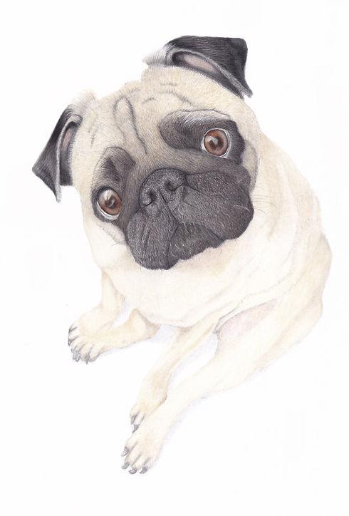 Pug Dog Portrait In Coloured Pencil