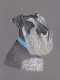Miniature Schnauzer Pastel Pet Portrait