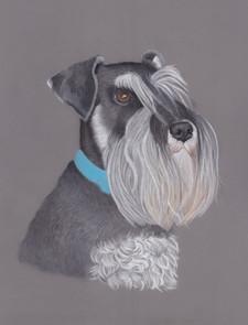 Black and Silver Minature Schanuzer Pastel pencil Pet portrait Painting  Artwork by Amy Elizabeth Fine Art | Pet portrait Artist | Derbyshire