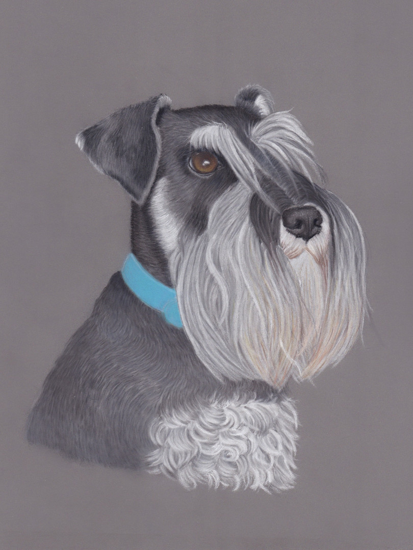 Miniature Schnauzer Pastel Pet Portrait