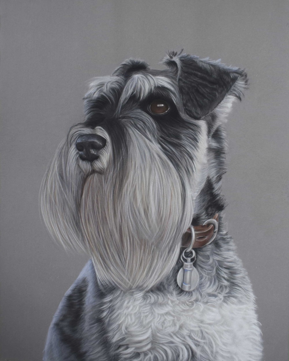 dog portraits - miniature schnauzer on velour