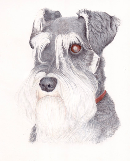 Miniature Schnauzer Pet Portrait in Coloured Pencil Drawing by Amy Elizabeth Fine Art | Pet Portrait Artist