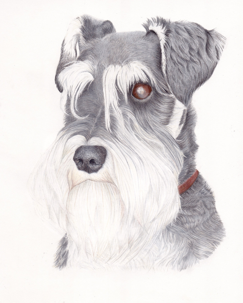 A pet portrait drawing of a Miniature Schnauzer in coloured pencil