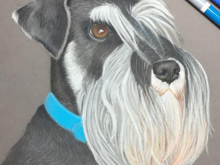 Pastel Pet Portraits UK - A Spotlight on Miniature Schnauzer Portraits