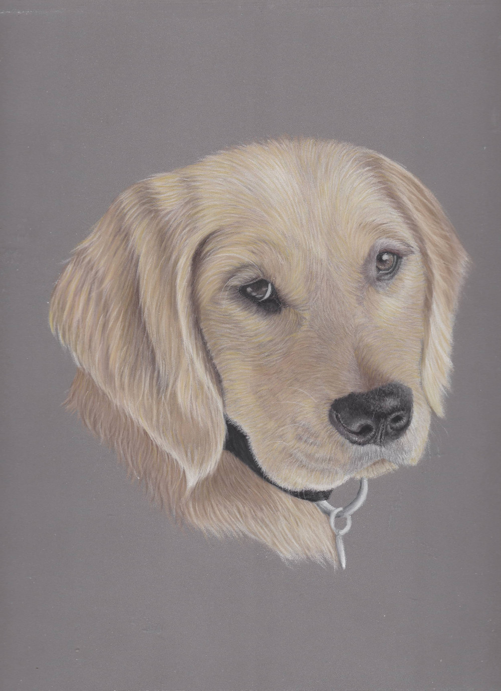 A pastel pet portrait from photos, of a golden retriever dog in a realistic style. It has golden fur and a black nose. BY Amy Elizabeth Fine Art | Pet Portrait Artist Derbyshire