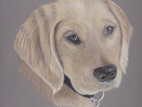 Pastel Pet Portrait Artist UK- Creating a Golden Retriever Portrait in Pastels