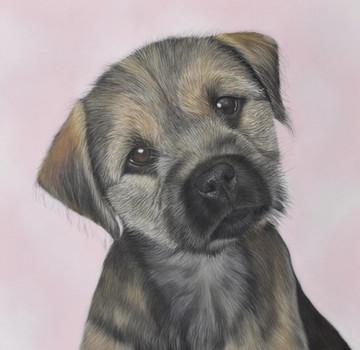 Border terrier puppy portrait