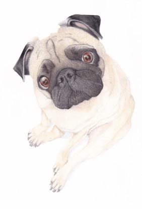 Fawn Pug Dog Coloured Pencil Pet Portrait Custom Dog Drawing Realistic Style