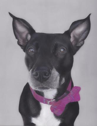 pastel pet portrait of a black staffie
