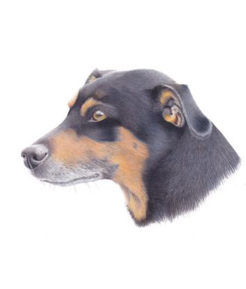 Jack Russell Terrier Dog Coloured pencil Pet Portrait Drawing Derbyshire