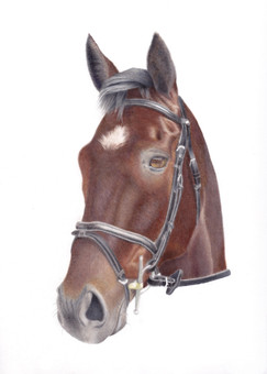 Bay My Hero, a coloured pencil Portrait of a Bay Event Horse with bridle