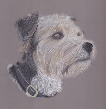 Terrier Coloured Pencil portrait Study