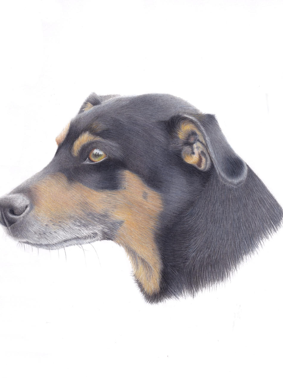 Jack Russel Dog Portrait In Pencil