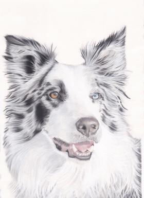 Border Collie Sheepdog  Dog Pastel Portrait Painting, by Amy Elizabeth Fine Art