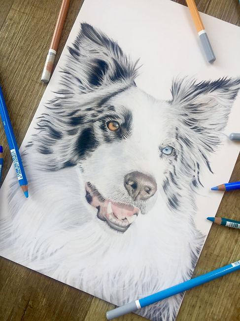 pastel border collie portrait