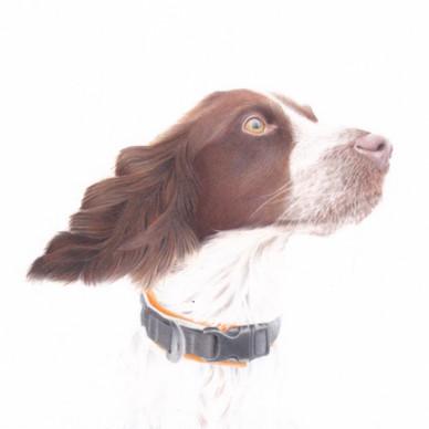 English Springer Spaniel Gundog Custom Pet Portrait in Coloured Pencil