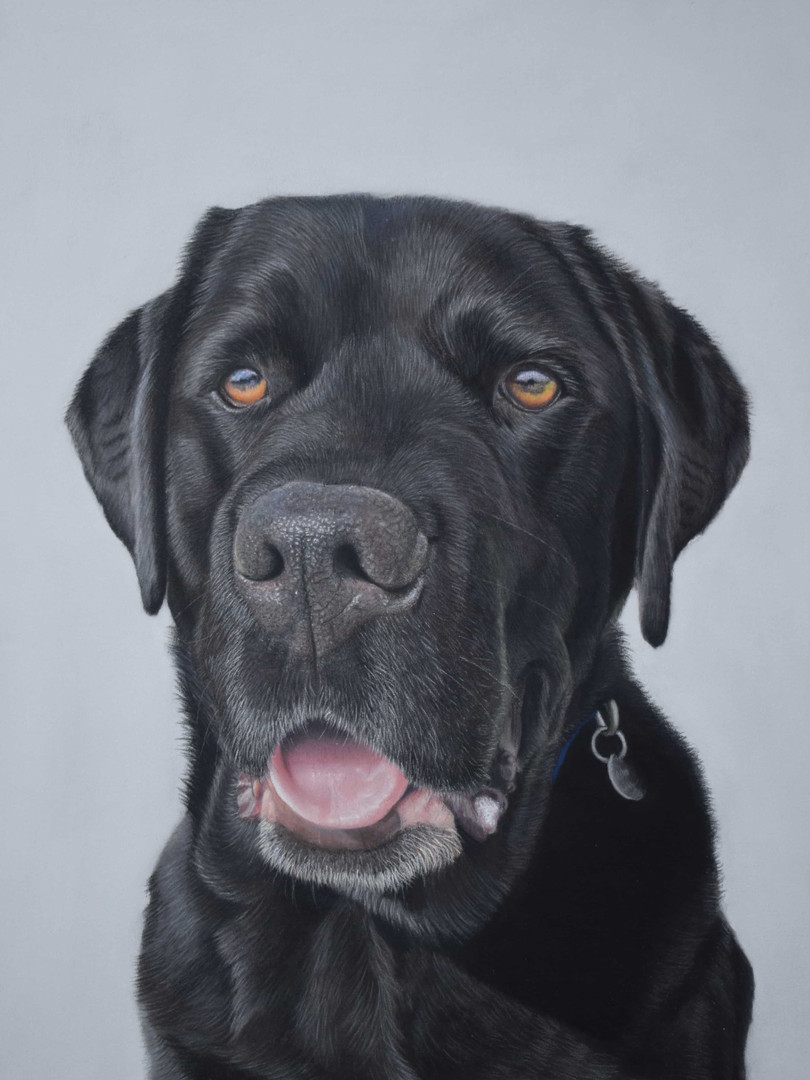 black labrador pastel pet portrait