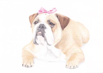 British Bulldog Dog Custom Pet Portrait in Coloured pencil