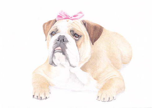 British Bulldog Dog Custom Pet Portrait in Coloured pencil