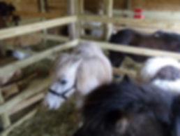 Georgia Pony Rides