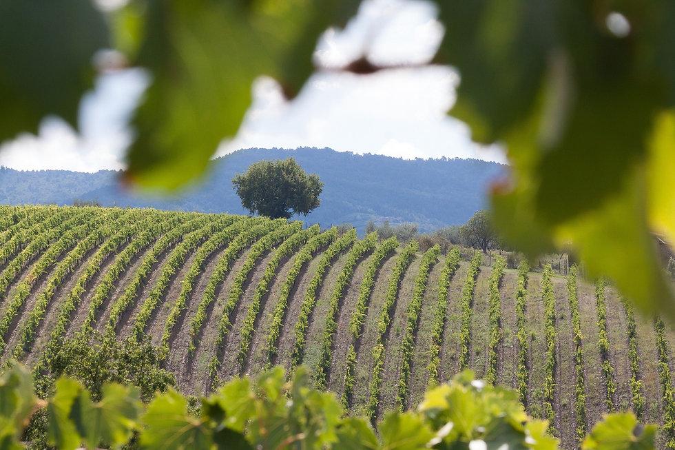 vineyard-989270_1920.jpg