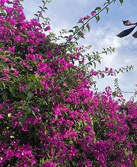 bougainvillea flowers landscape design