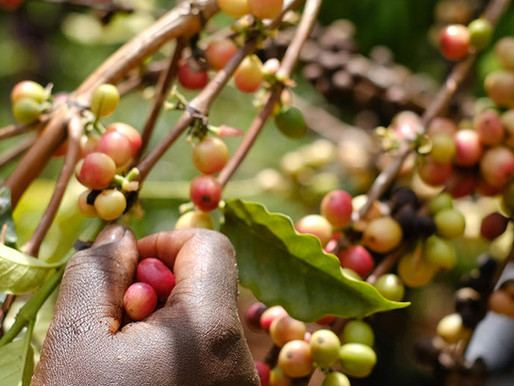 What happens in a coffee farm? Coffee bean's journey from a nursery to green coffee