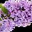Thumbnail: Lilac Mini