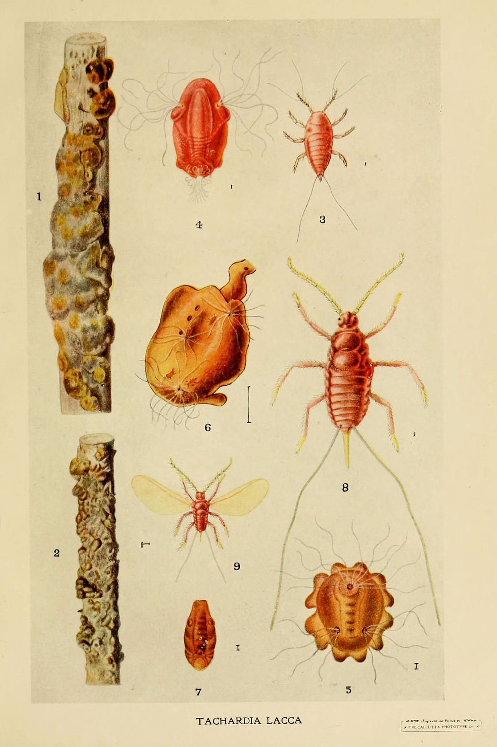 Drawing of the insect Kerria lacca and its shellac tubes, by Harold Maxwell-Lefroy, 1909