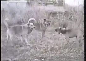 昔から存在する野犬たち