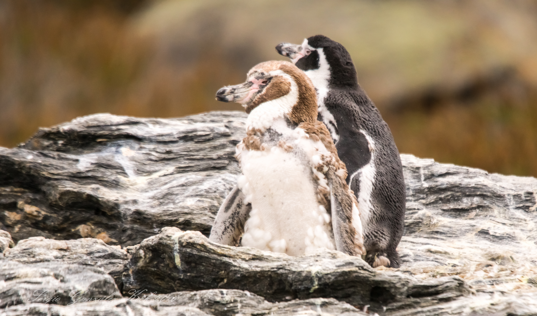 pinguino-de-humbodt-04725_25448389586_o