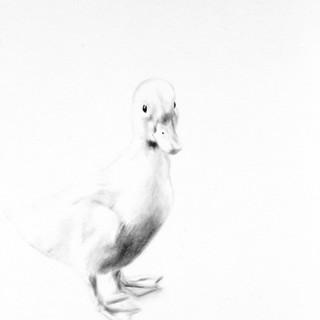'Quack!'