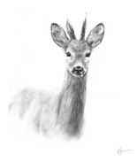 'Roe Buck'