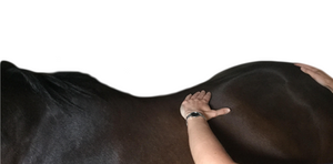 Horse physio assessment back palpation