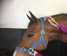 Equine physiotheapy, laser