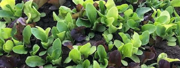 Lettuce Mix- 1/4 lb bag