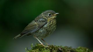 Young robin.jpg