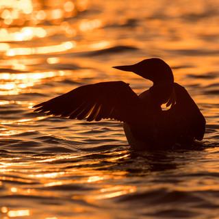 Common loon at sunset.jpg