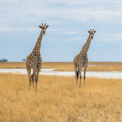 Etosha giraffes_.jpg